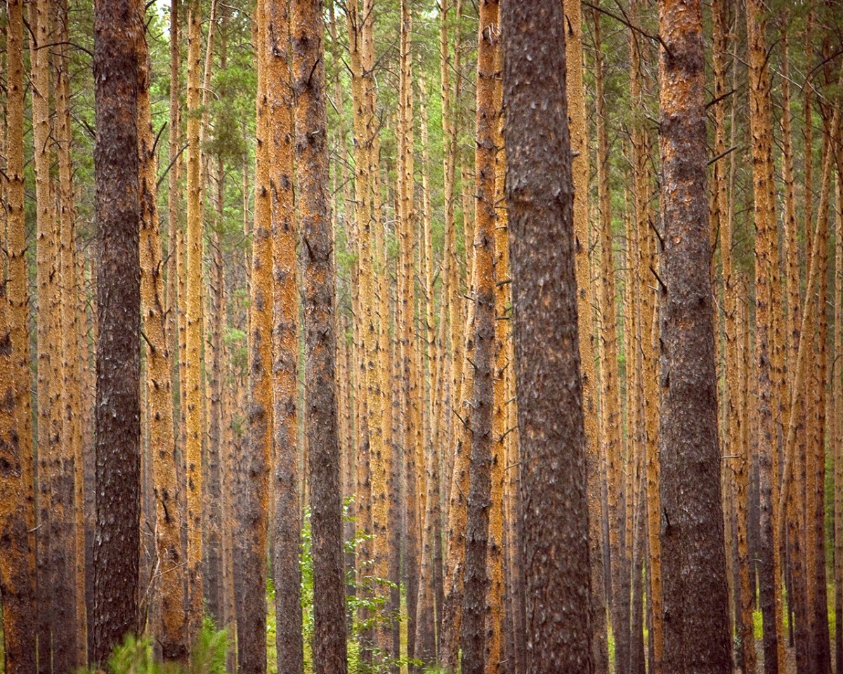 Pine Forest in Siberia