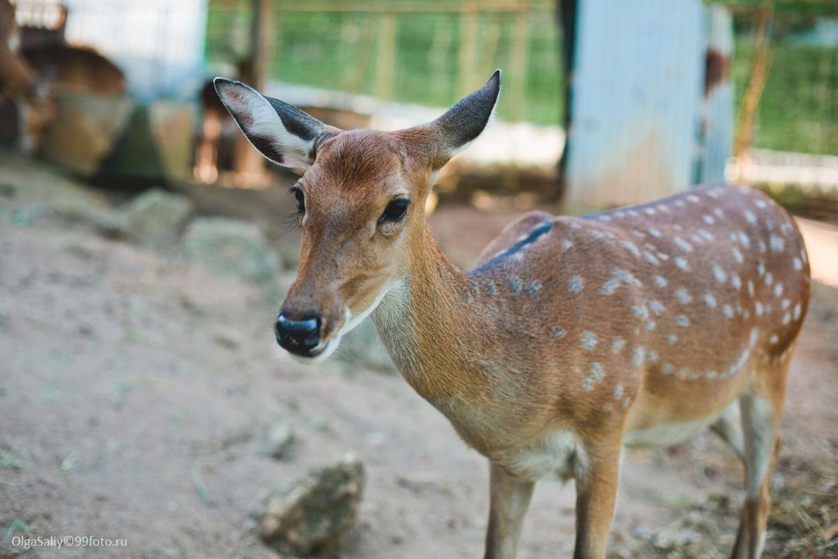Feed the deer in Koh Samui