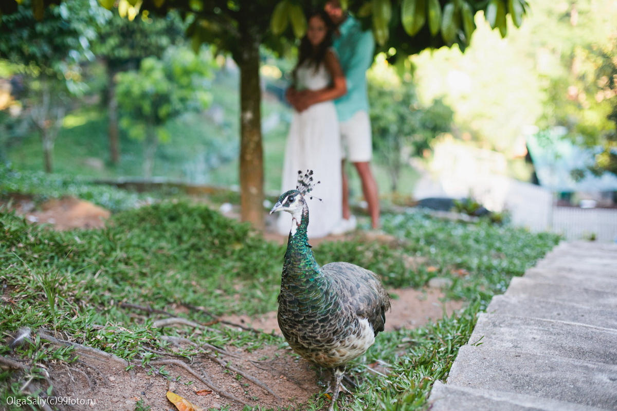 Love Story and peacock