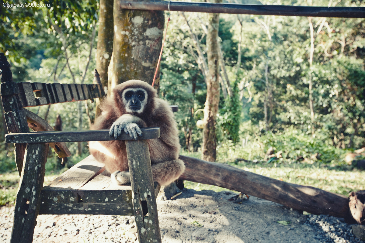 Unhappy monkey on Samui