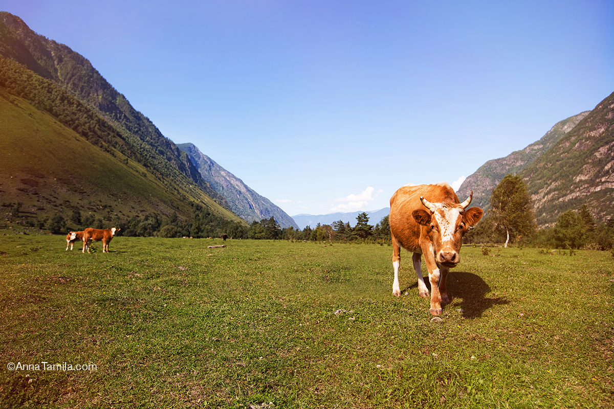 The cow in mountains