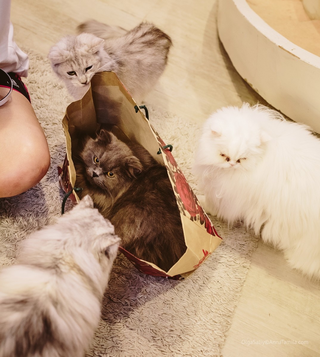 Cat cafe in Bangkok (25)
