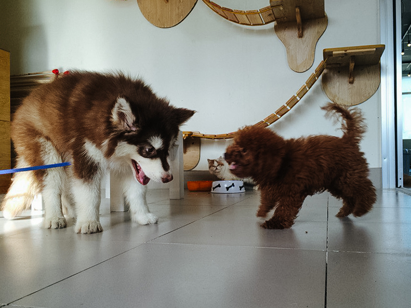 Dog in Cat Cafe VungTau Vietnam (15)