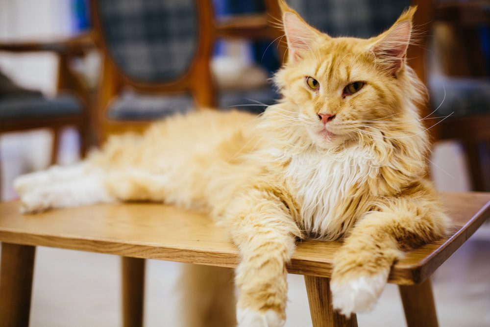 maine coon ICHI Cat Café