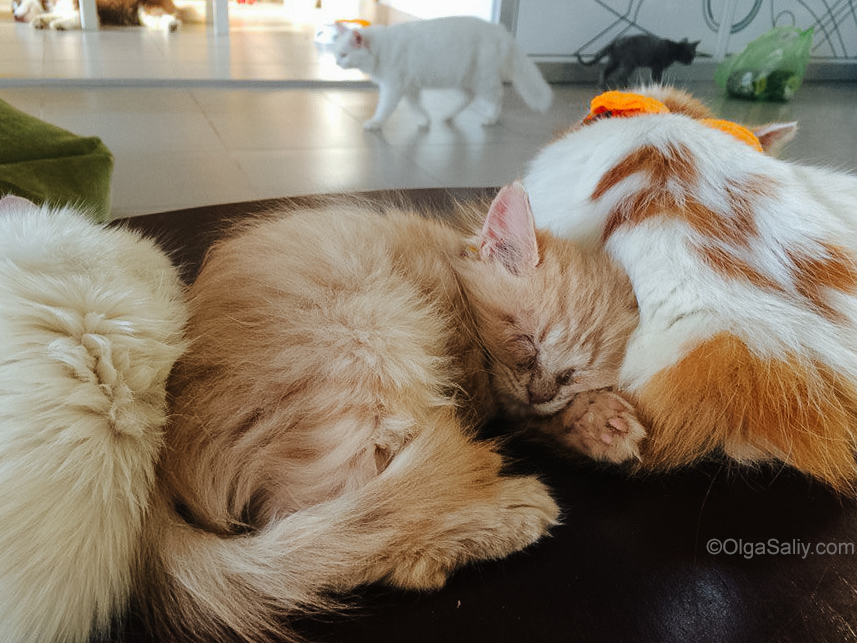 Cat Cafe VungTau Vietnam (3)