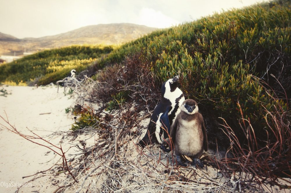 Beach with penguins in Cape Town, Boulders beach